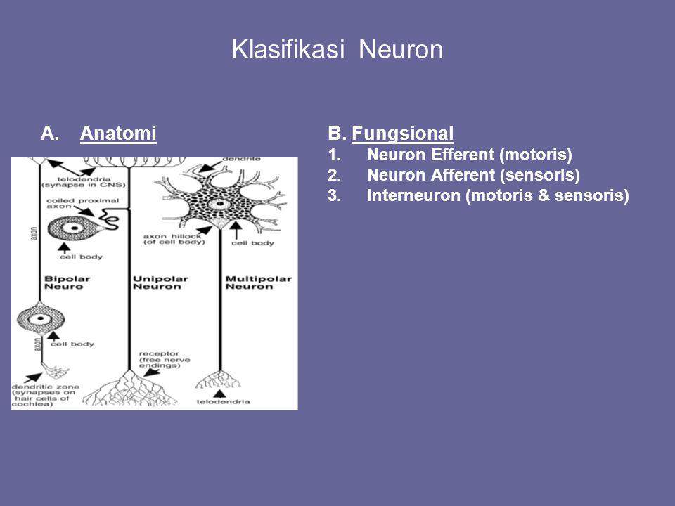 Klasifikasi Neuron Anatomi B. Fungsional Neuron Efferent (motoris)