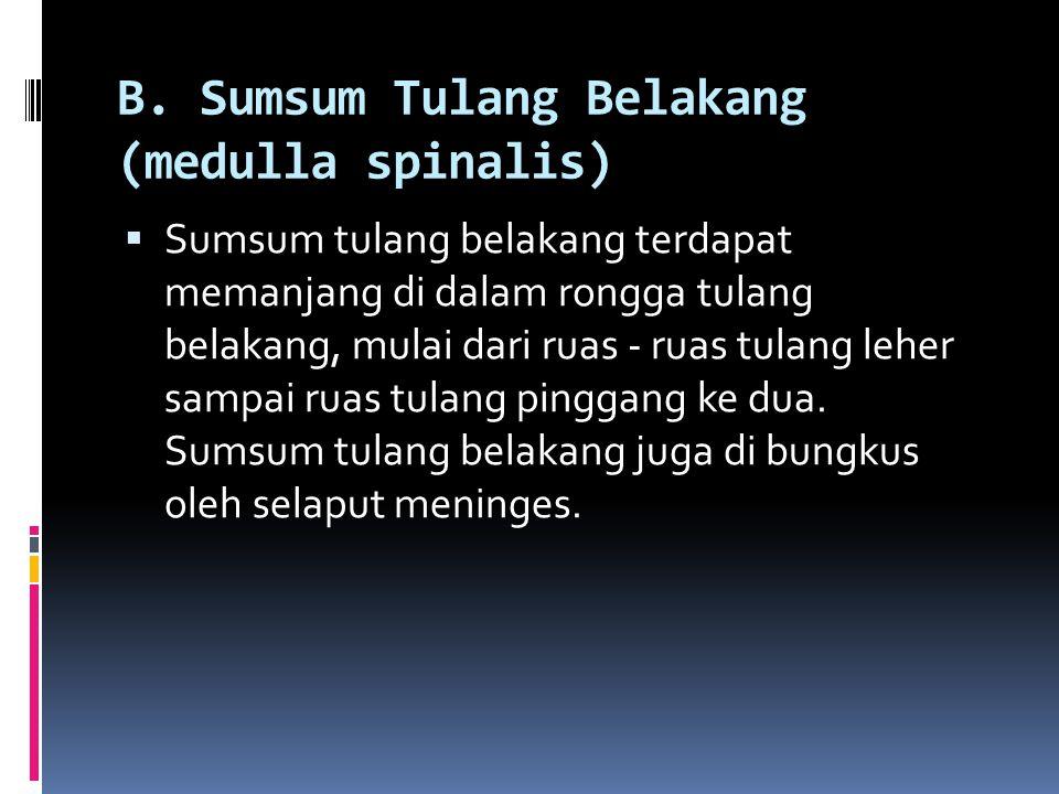 B. Sumsum Tulang Belakang (medulla spinalis)