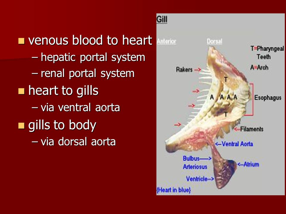 venous blood to heart heart to gills gills to body