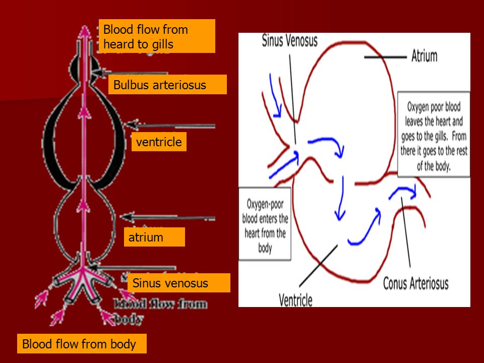 Blood flow from heard to gills