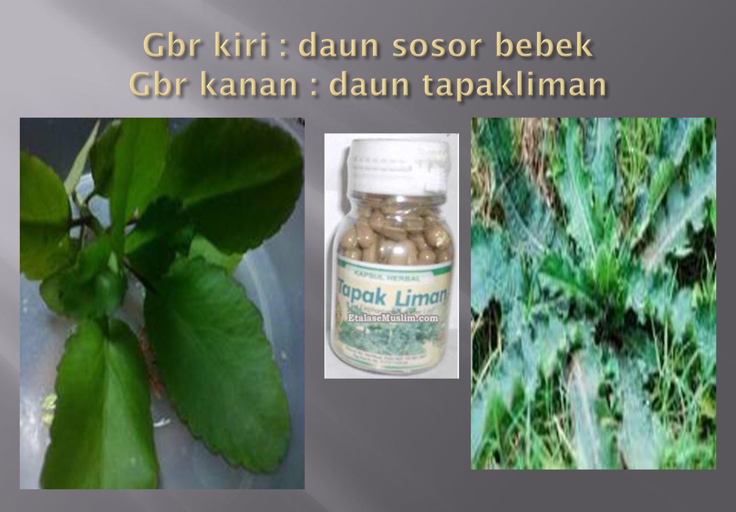 Gbr kiri : daun sosor bebek Gbr kanan : daun tapakliman