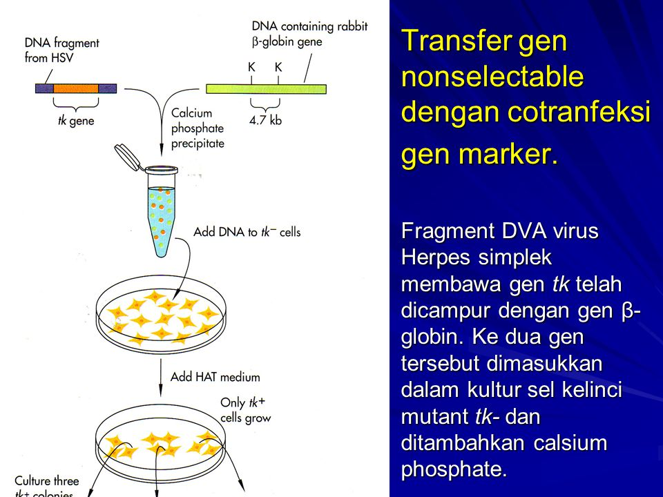 Transfer gen nonselectable dengan cotranfeksi gen marker