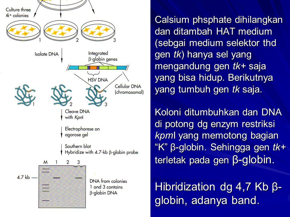 Calsium phsphate dihilangkan dan ditambah HAT medium (sebgai medium selektor thd gen tk) hanya sel yang mengandung gen tk+ saja yang bisa hidup.