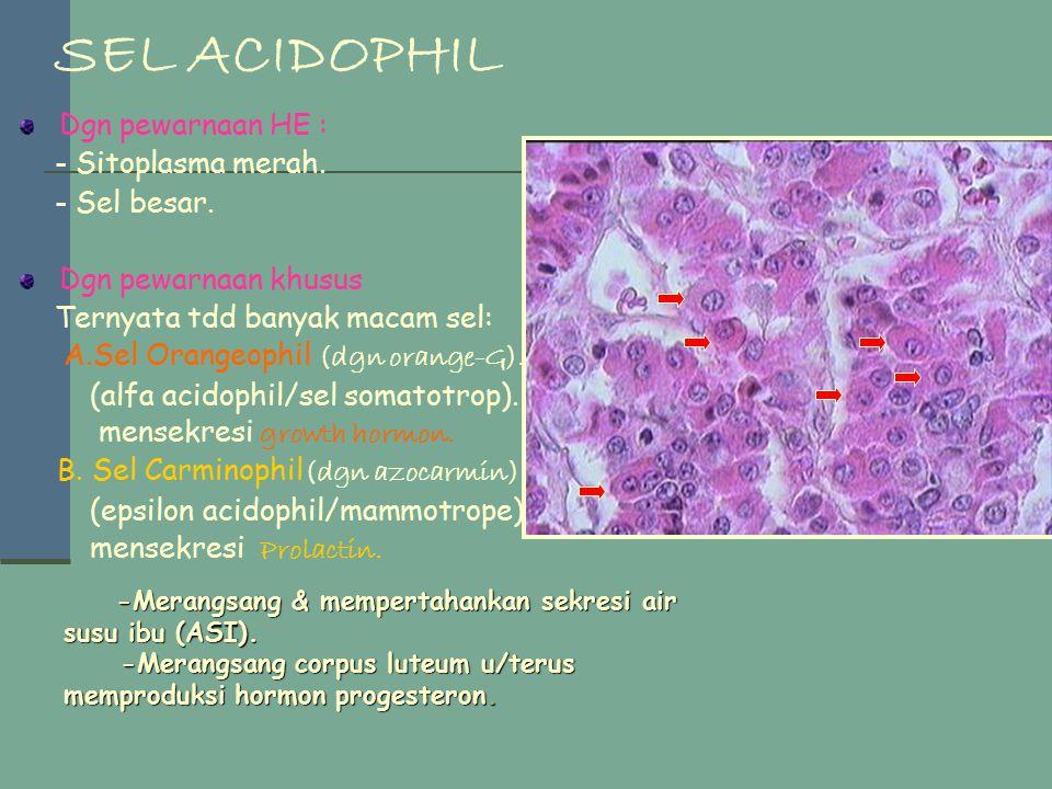 SEL ACIDOPHIL Dgn pewarnaan HE : - Sitoplasma merah. - Sel besar.