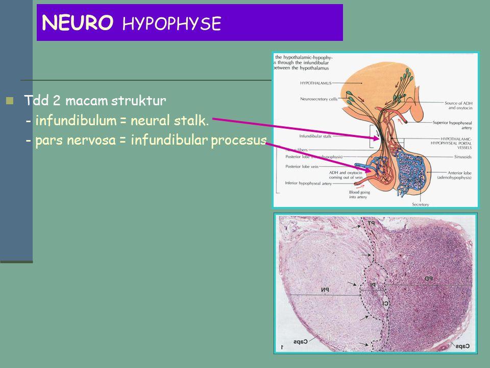NEURO HYPOPHYSE Tdd 2 macam struktur - infundibulum = neural stalk.