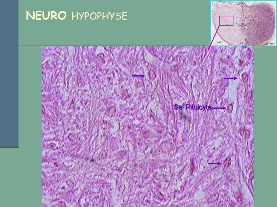 NEURO HYPOPHYSE Sel Pituicyte.