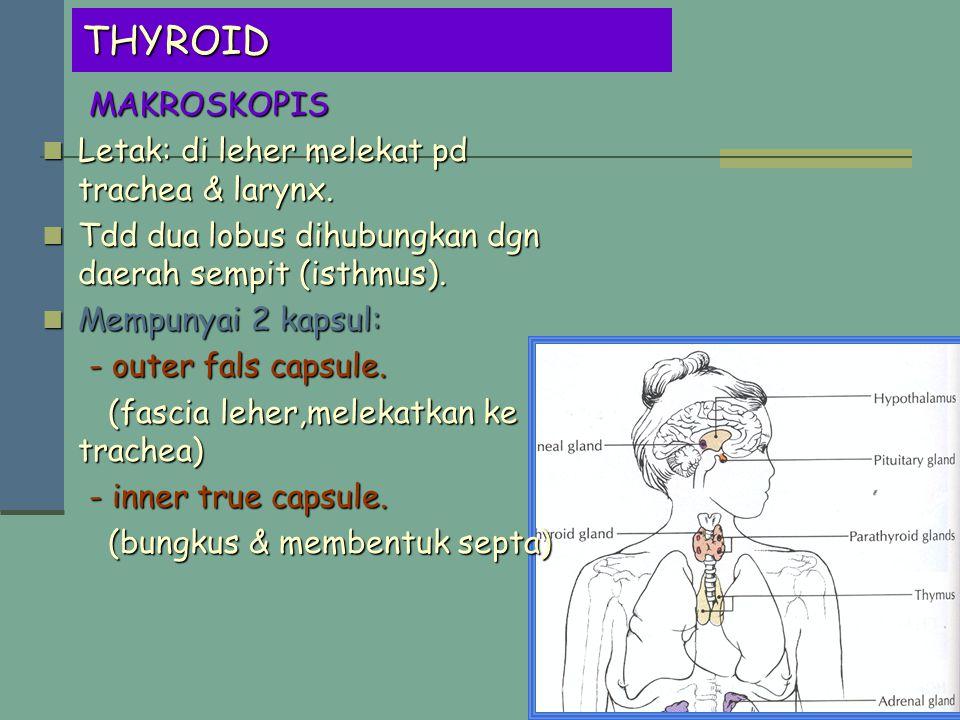 THYROID MAKROSKOPIS Letak: di leher melekat pd trachea & larynx.