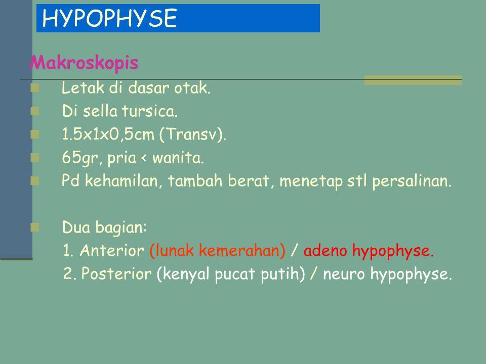 HYPOPHYSE Makroskopis Letak di dasar otak. Di sella tursica.