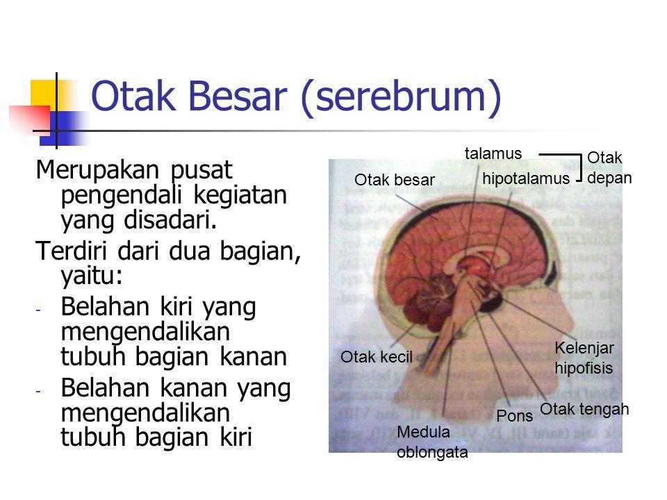 Otak Besar (serebrum) Otak besar. talamus. hipotalamus. Otak. depan. Otak kecil. Medula. oblongata.