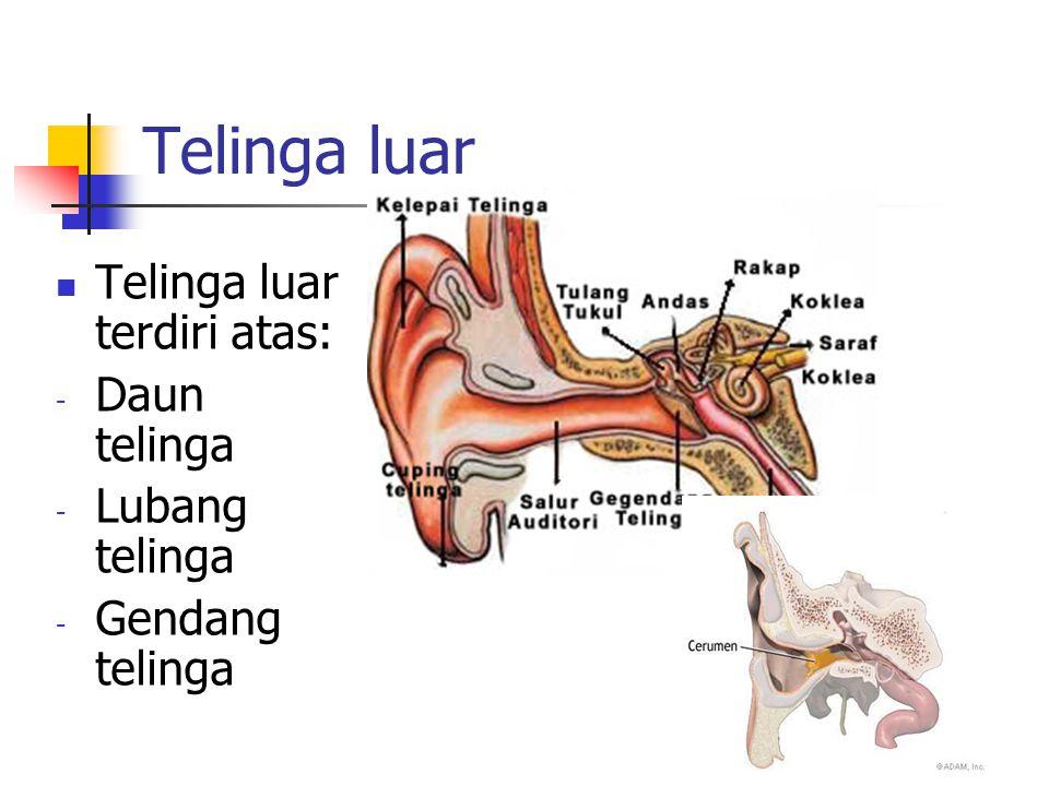 Telinga luar Telinga luar terdiri atas: Daun telinga Lubang telinga