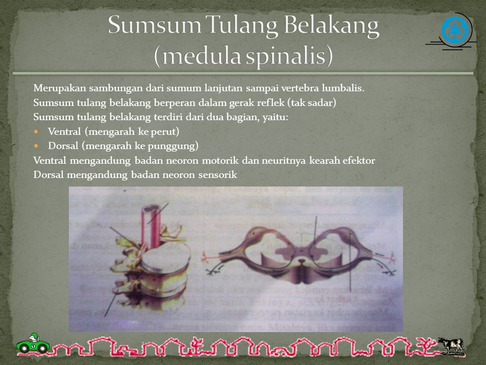 Sumsum Tulang Belakang (medula spinalis)