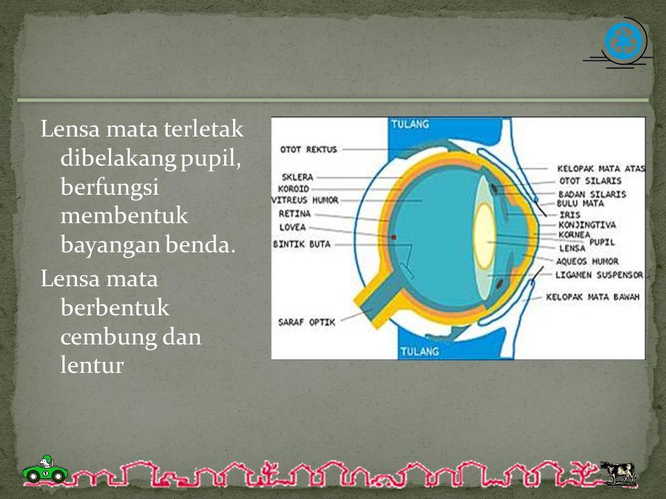 Lensa mata terletak dibelakang pupil, berfungsi membentuk bayangan benda.