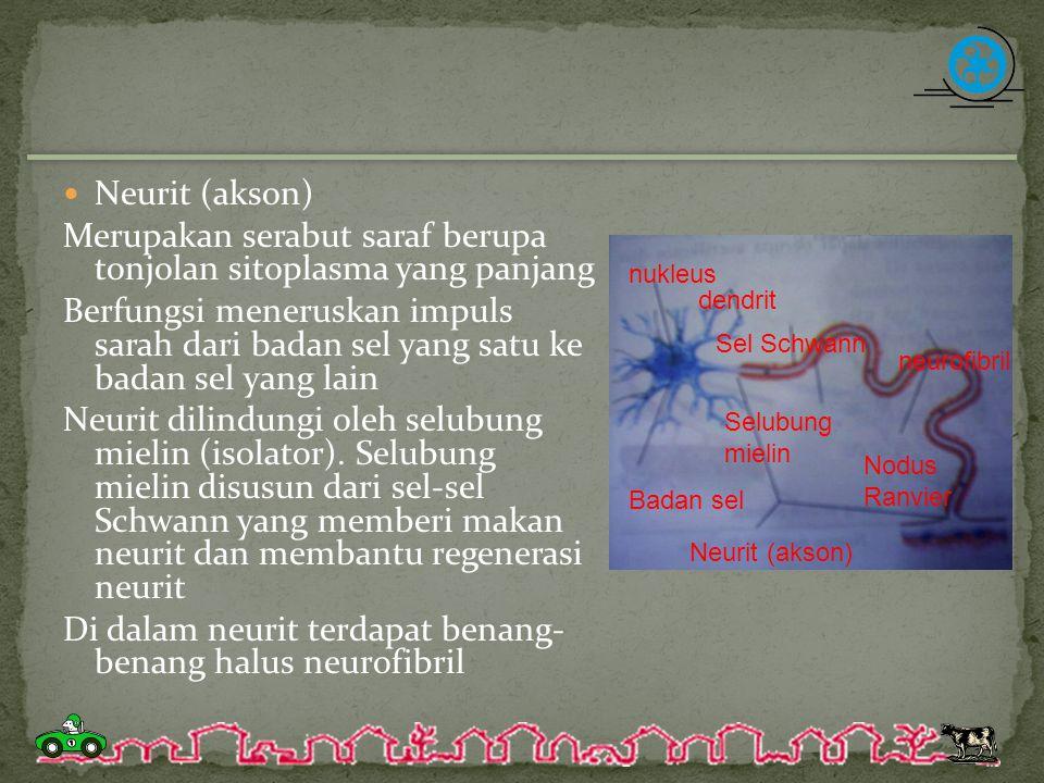Merupakan serabut saraf berupa tonjolan sitoplasma yang panjang