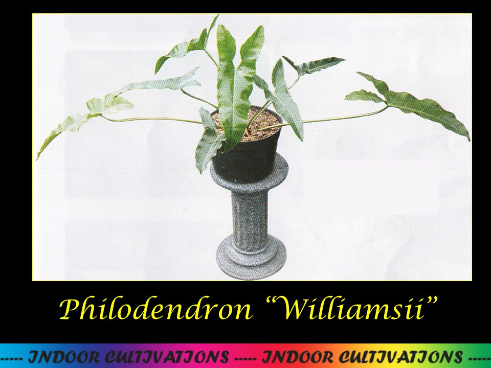 Philodendron Williamsii
