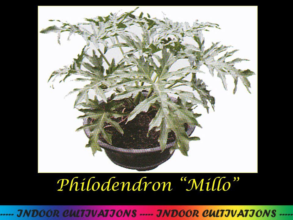 Philodendron Millo