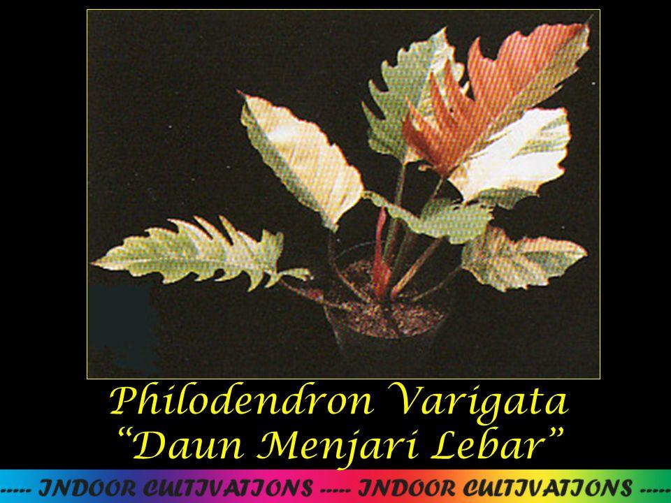 Philodendron Varigata Daun Menjari Lebar