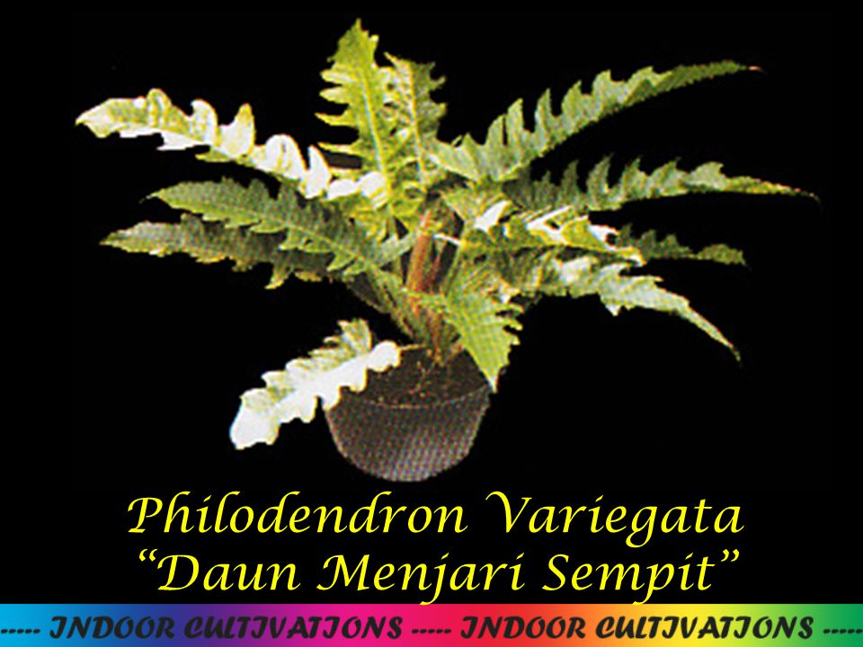 Philodendron Variegata Daun Menjari Sempit