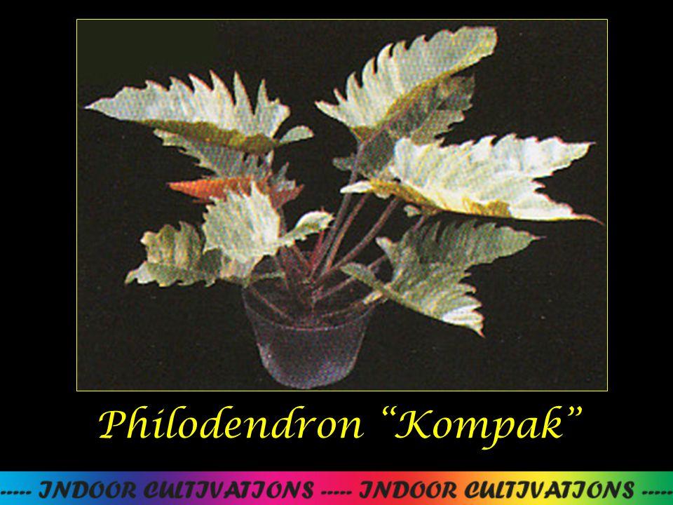 Philodendron Kompak