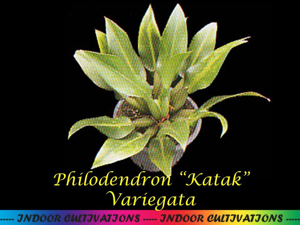Philodendron Katak Variegata