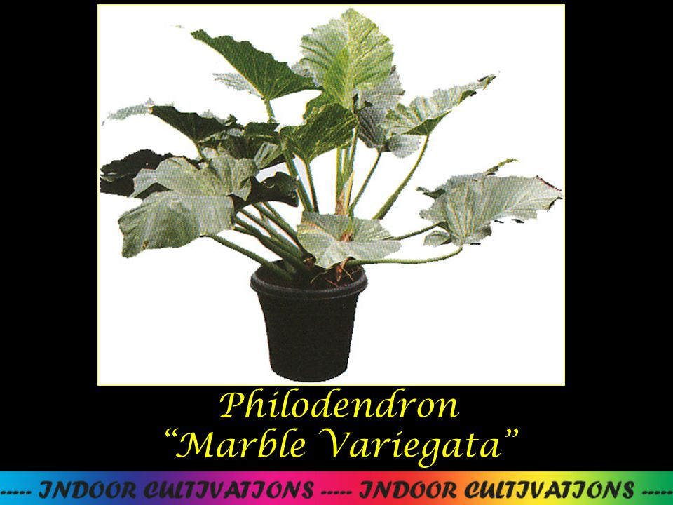 Philodendron Marble Variegata