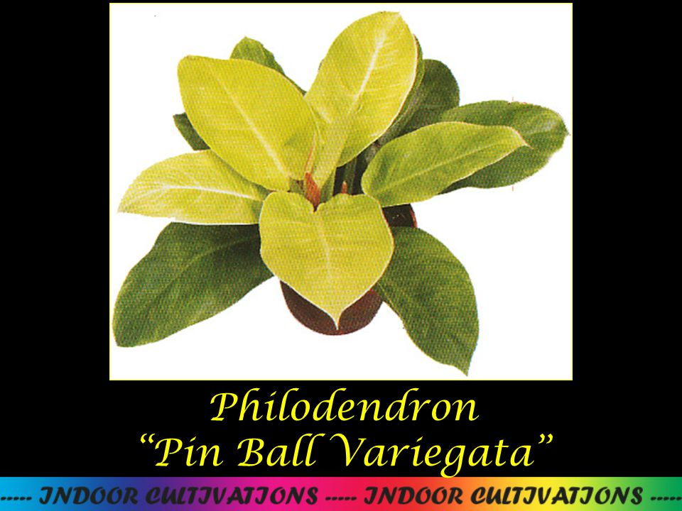 Philodendron Pin Ball Variegata