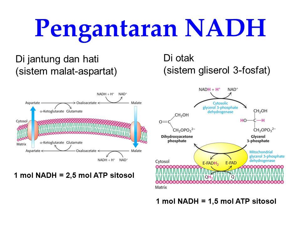 Pengantaran NADH Di otak Di jantung dan hati