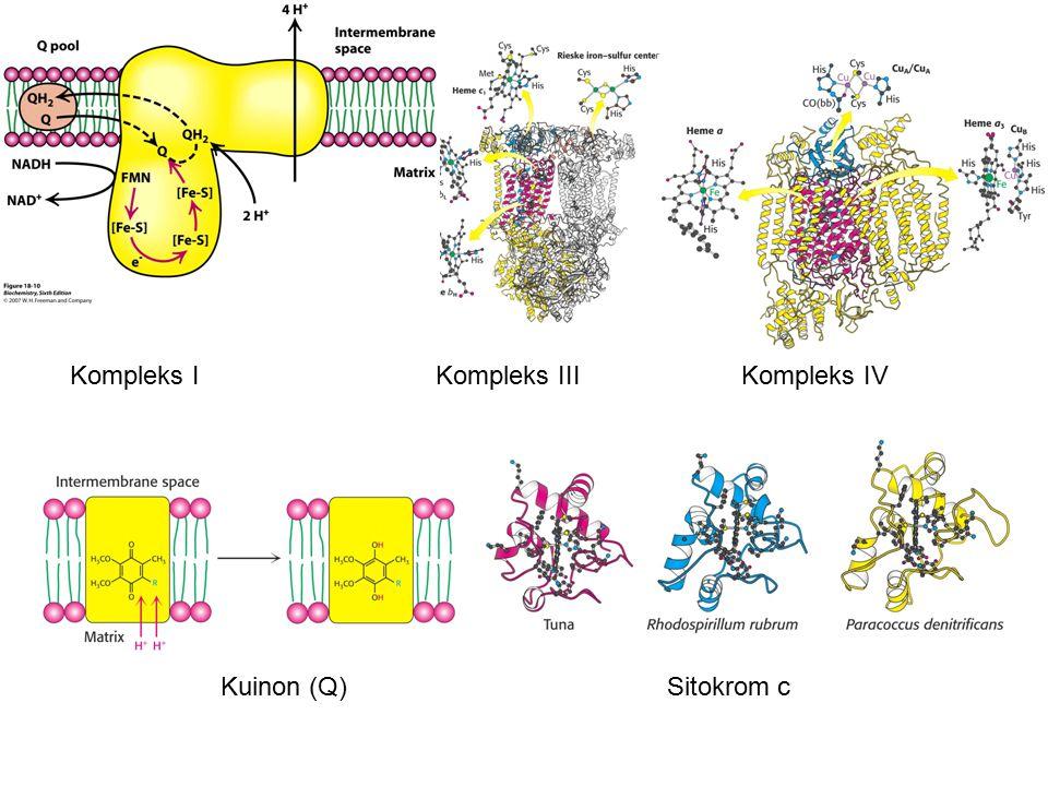 Kompleks I Kompleks III Kompleks IV Kuinon (Q) Sitokrom c