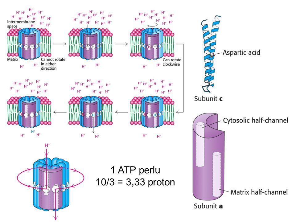 1 ATP perlu 10/3 = 3,33 proton