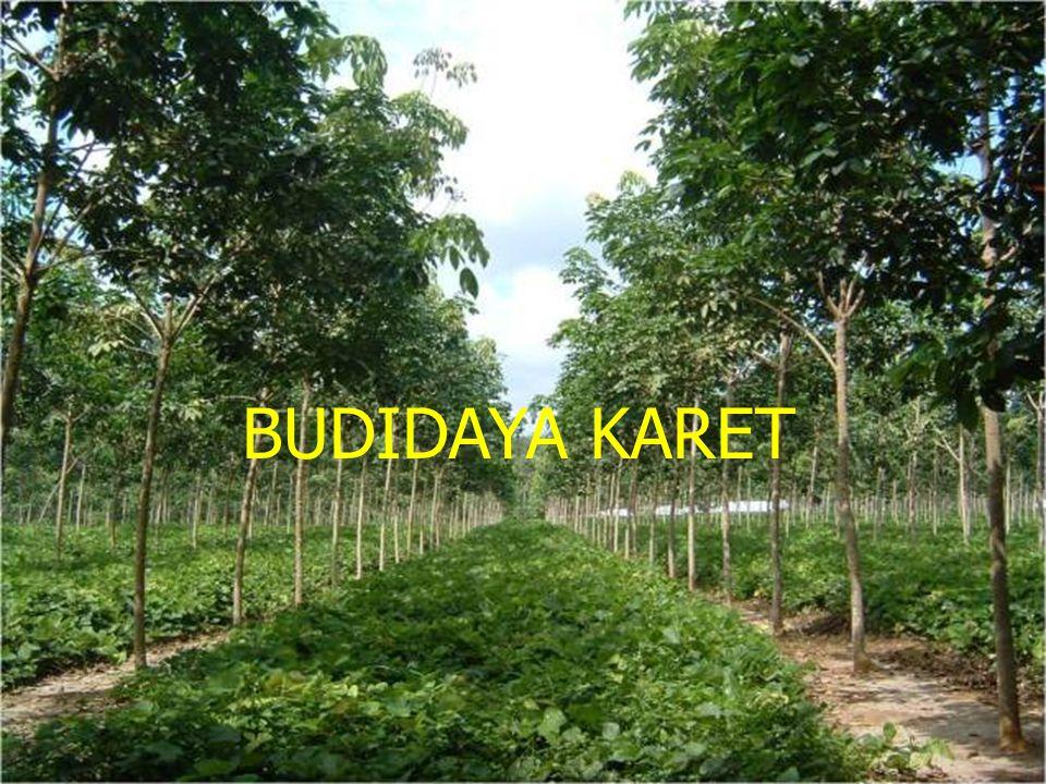 BUDIDAYA KARET