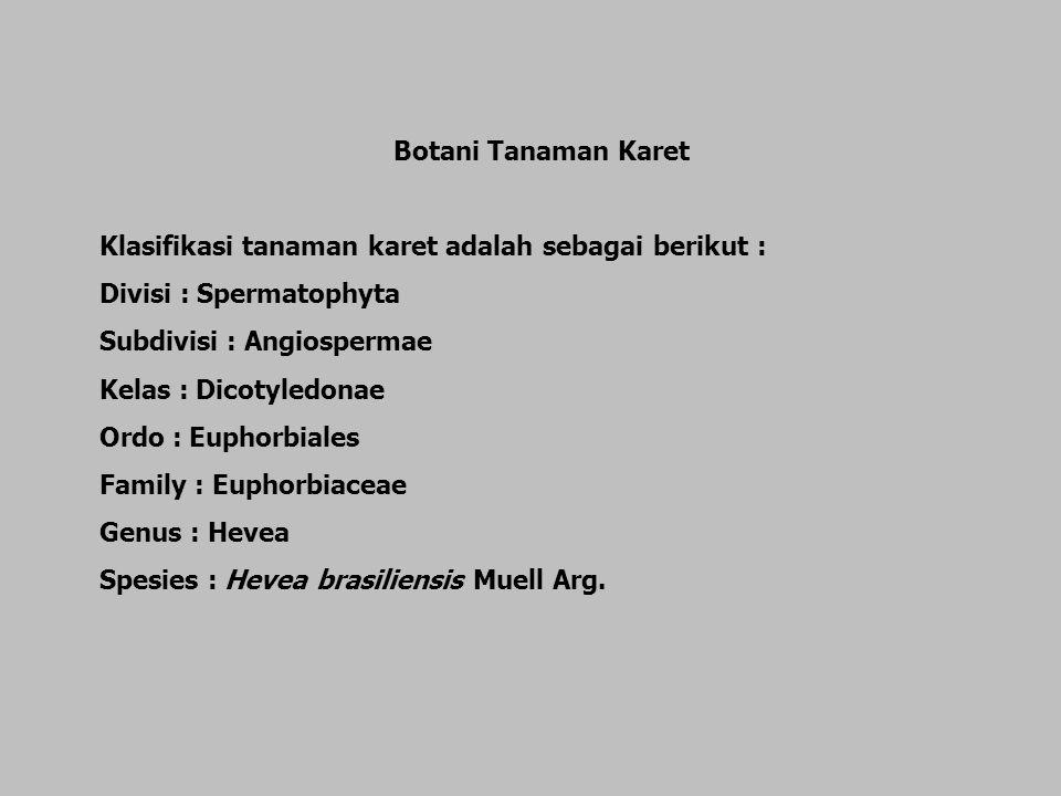 Klasifikasi tanaman karet adalah sebagai berikut :
