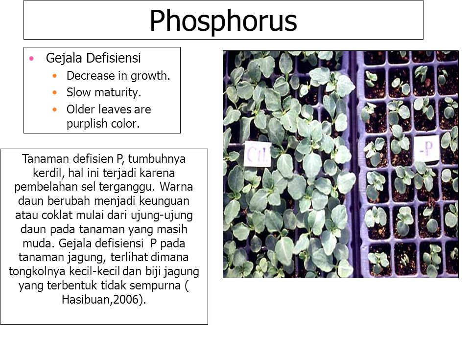 Phosphorus Gejala Defisiensi Decrease in growth. Slow maturity.