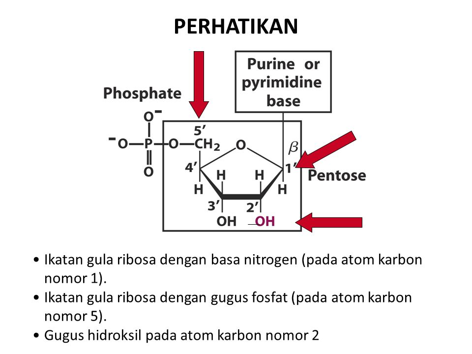 PERHATIKAN Ikatan gula ribosa dengan basa nitrogen (pada atom karbon nomor 1). Ikatan gula ribosa dengan gugus fosfat (pada atom karbon nomor 5).
