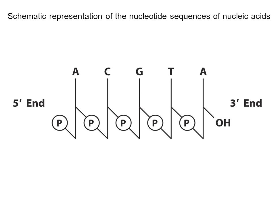 Schematic representation of the nucleotide sequences of nucleic acids