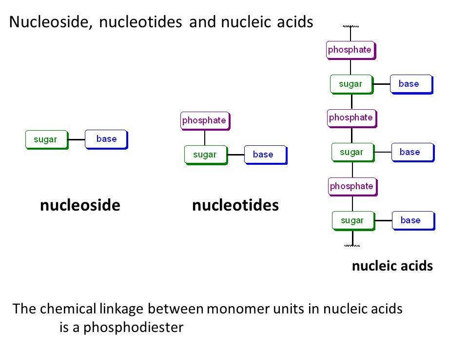 Nucleoside, nucleotides and nucleic acids