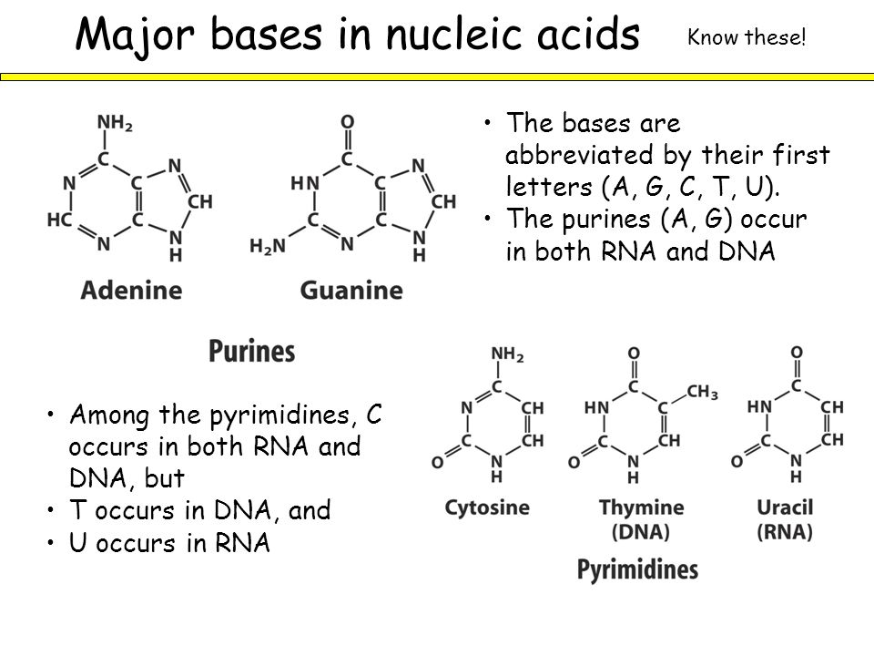 Major bases in nucleic acids