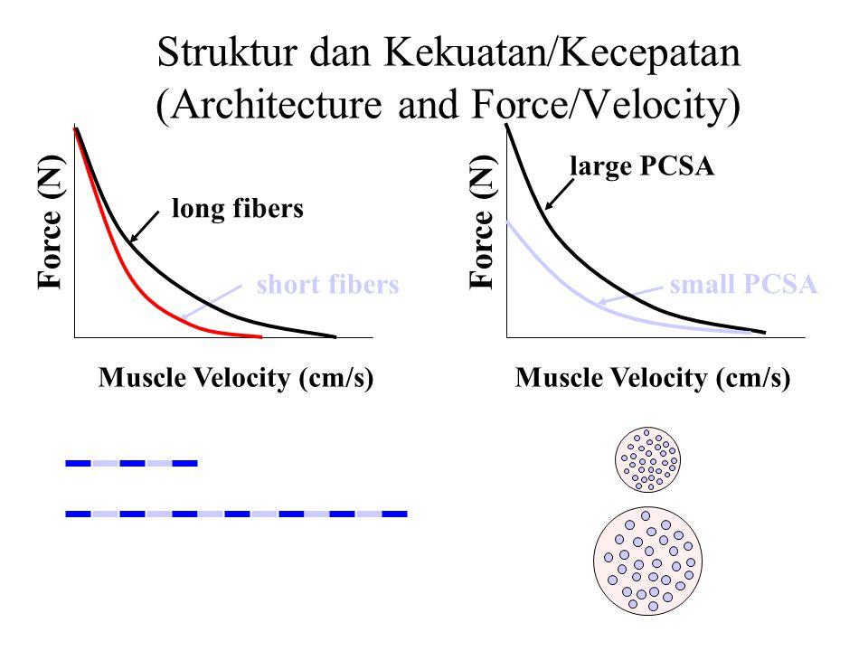 Struktur dan Kekuatan/Kecepatan (Architecture and Force/Velocity)