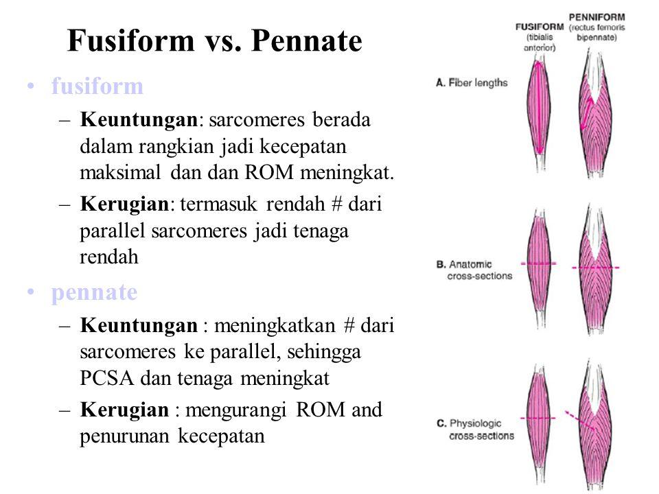 Fusiform vs. Pennate fusiform pennate