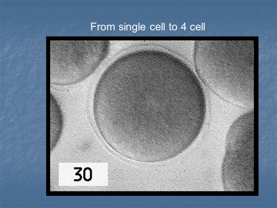 From single cell to 4 cell
