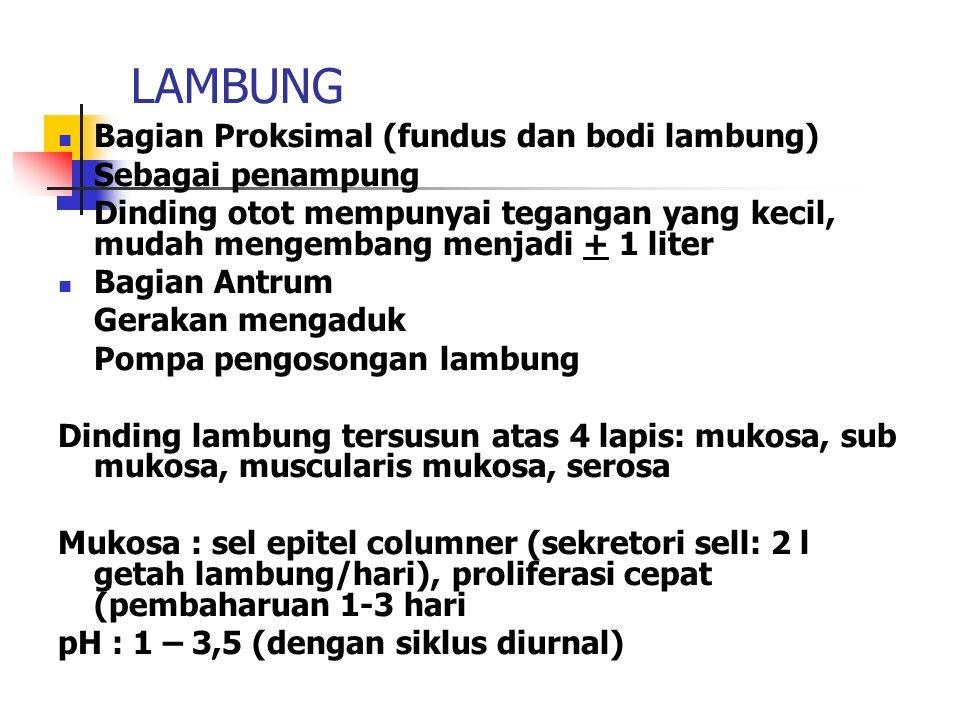 LAMBUNG Bagian Proksimal (fundus dan bodi lambung) Sebagai penampung
