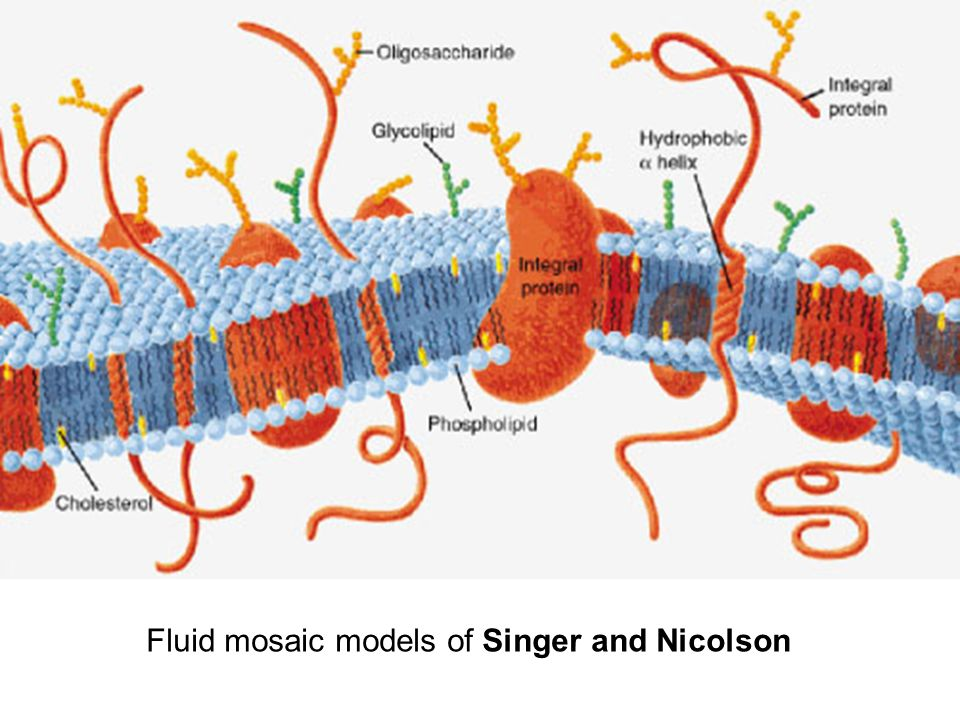 Fluid mosaic models of Singer and Nicolson