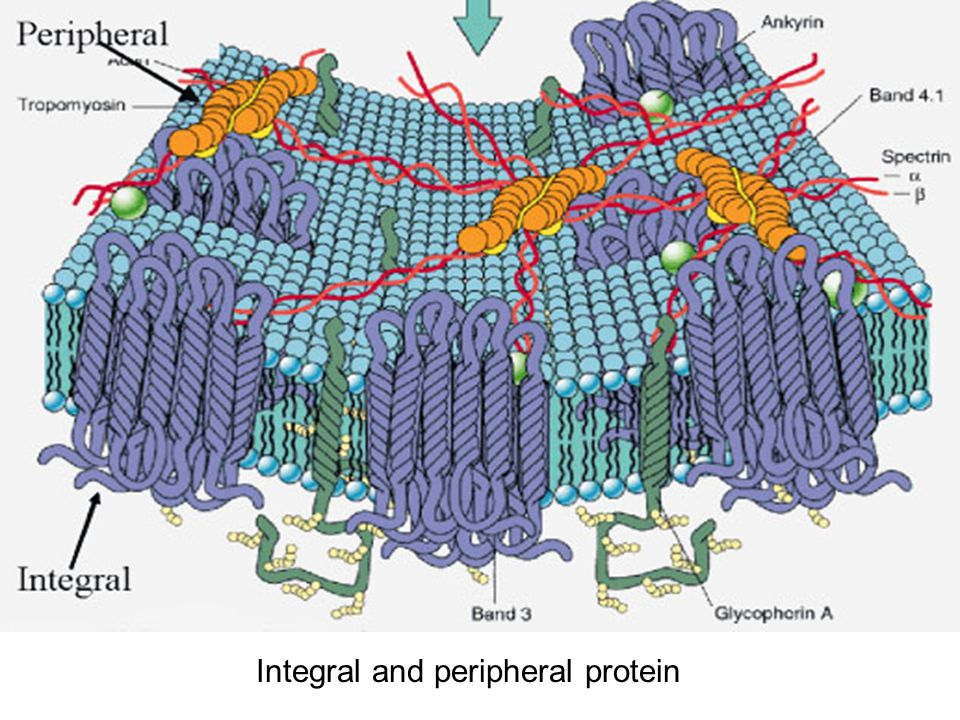 Integral and peripheral protein