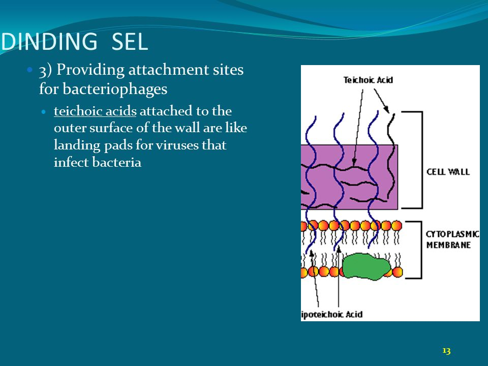 DINDING SEL 3) Providing attachment sites for bacteriophages