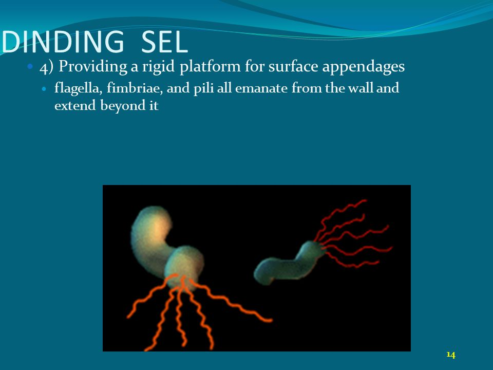 DINDING SEL 4) Providing a rigid platform for surface appendages