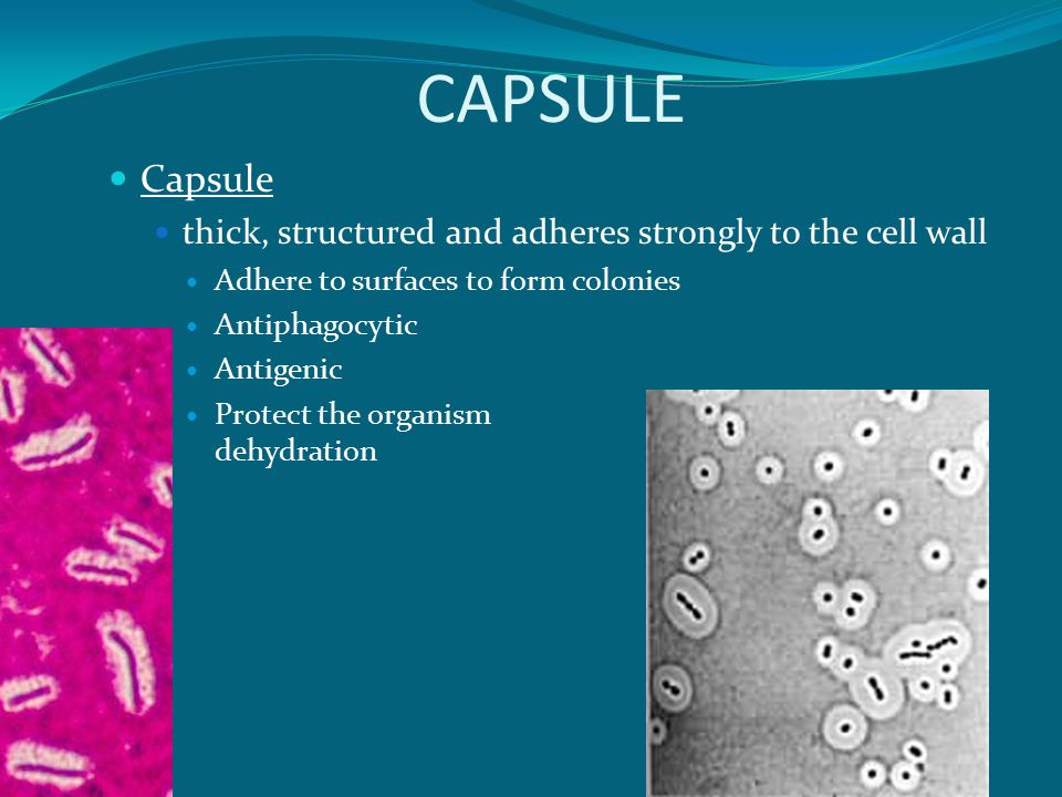 CAPSULE Capsule. thick, structured and adheres strongly to the cell wall. Adhere to surfaces to form colonies.
