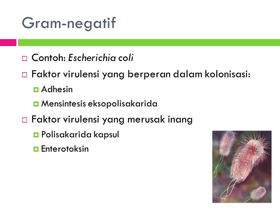 Gram-negatif Contoh: Escherichia coli
