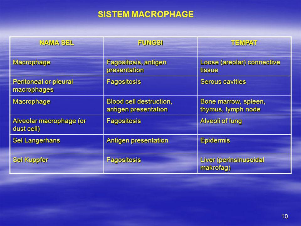 SISTEM MACROPHAGE NAMA SEL FUNGSI TEMPAT Macrophage