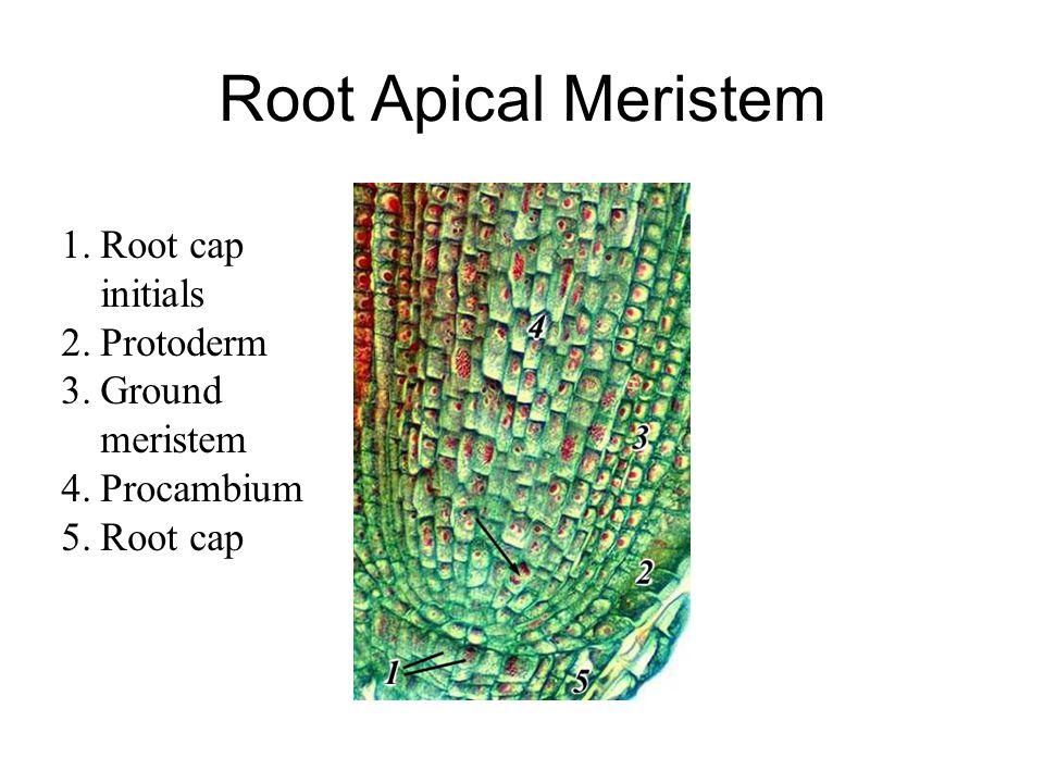 Root Apical Meristem Root cap initials Protoderm Ground meristem