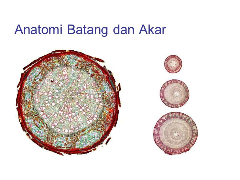 Anatomi Batang dan Akar