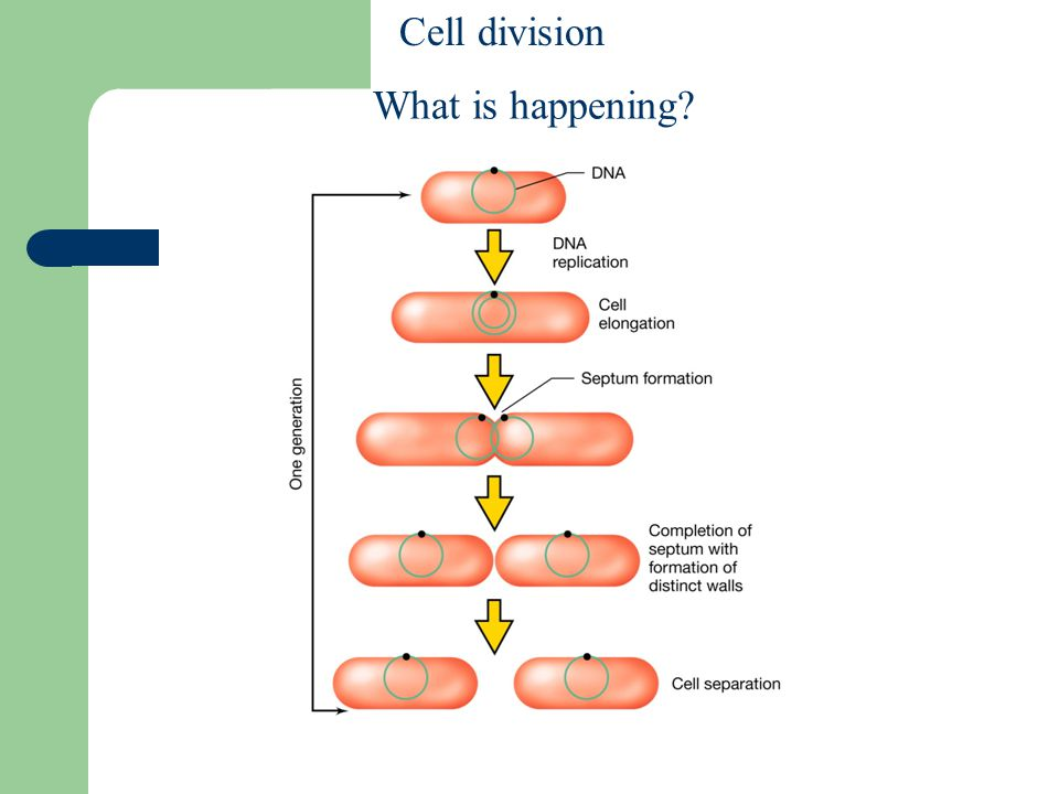 Cell division What is happening Figure: 06-01 Caption: