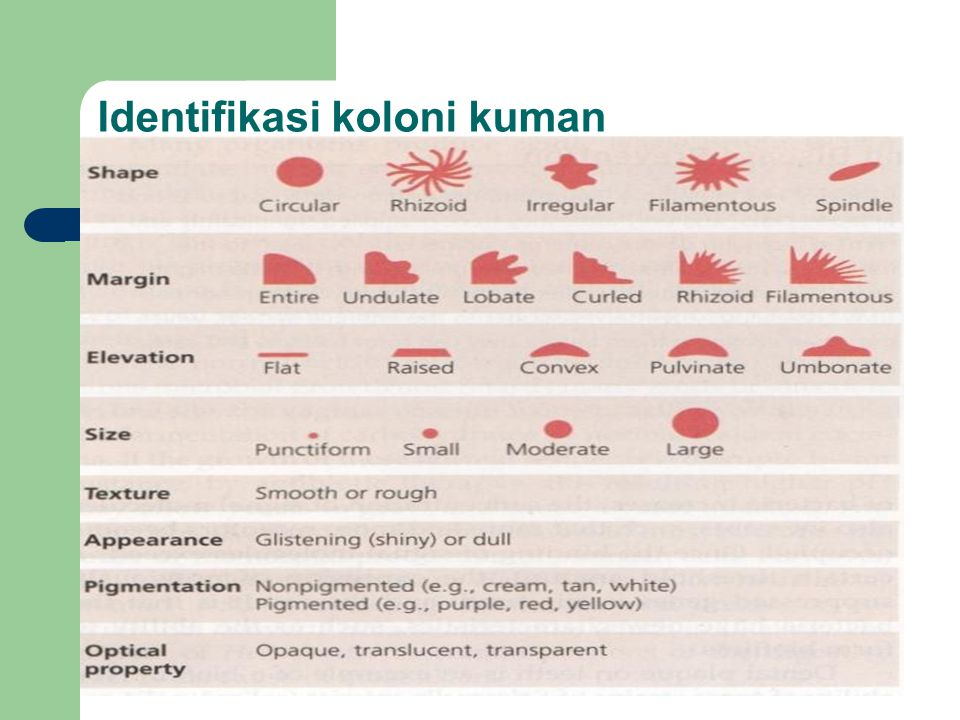 Identifikasi koloni kuman